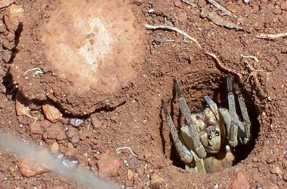 Охота паука-каменщика повергла в ужас пользователей Сети