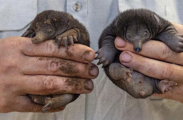 В австралийском зоопарке родились нюхлеры