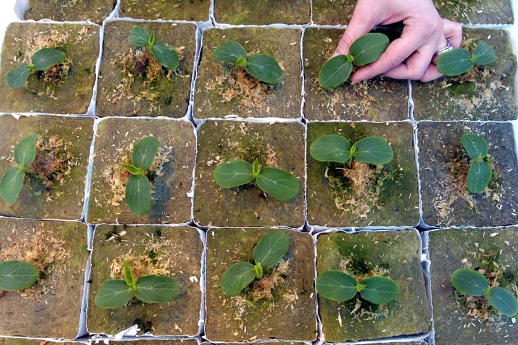 Как сделать рассаду огурцов