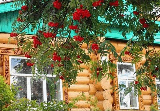 Почему стоит посадить рябину у дома?
