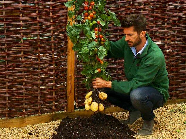 Помидофель - растение, которое производит одновременно помидоры и картофель