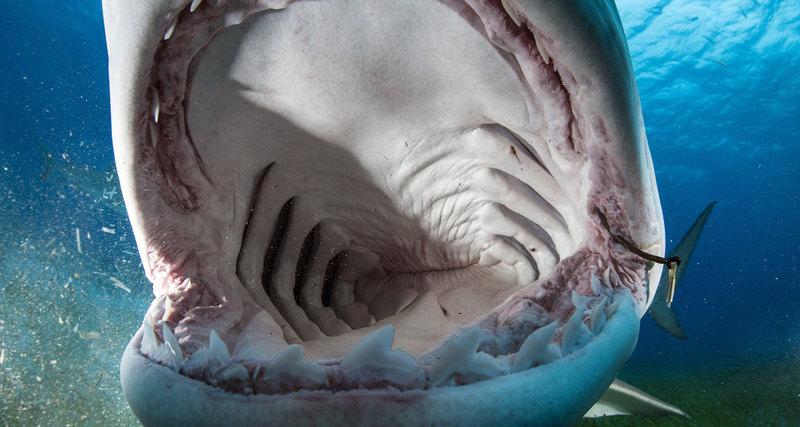 Почему акулы выплевывают сво…