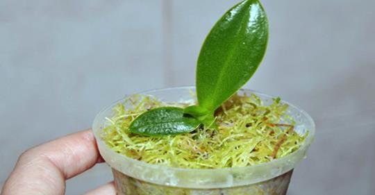 Способ размножения орхидеи б…
