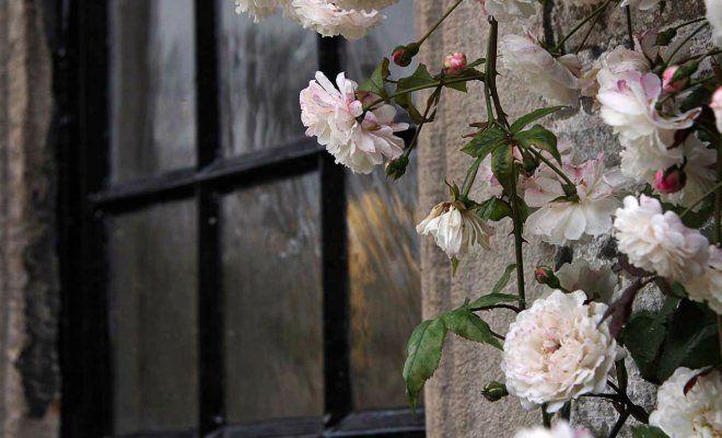 Все, что вам нужно знать о плетистых розах
