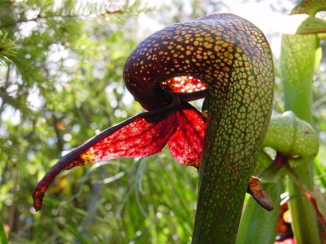 Осторожно, плотоядный цветок! Растения, которые кусаются
