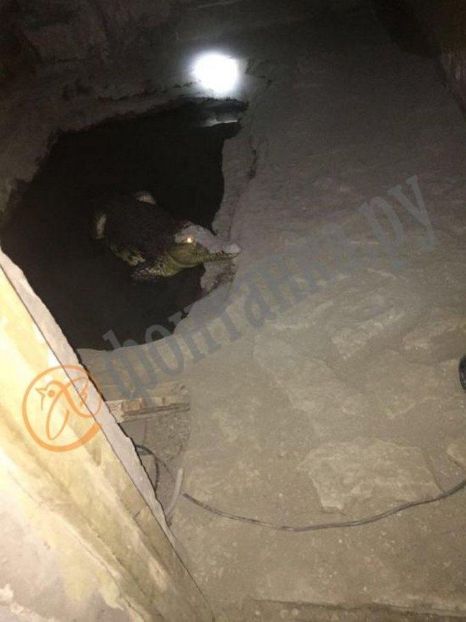 Полиция Санкт-Петербурга нашла крокодила вместо оружия