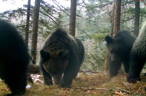 Уникальная семья медведей из России поразила ученых