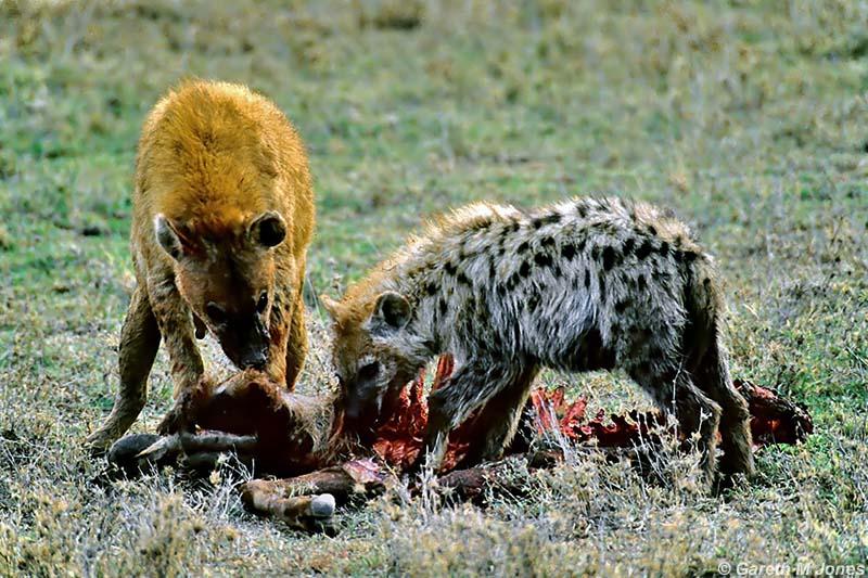 Никогда гиены не станут друзьями медведя.