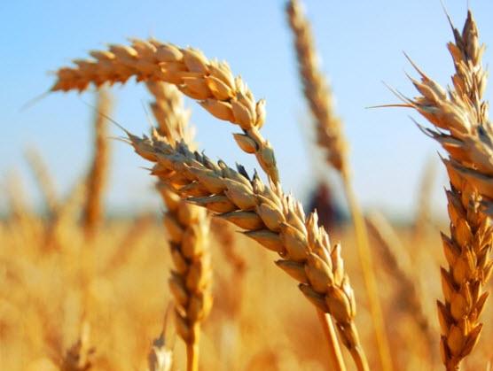 Падение урожая зерновых в 2018 году - стоит ли волноваться?