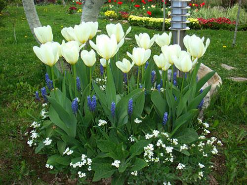 можно ли сажать тюльпаны в ноябре образом будете себя