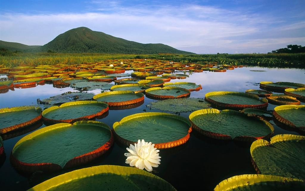 кувшинка виктория, интересные растения, растение амазонка