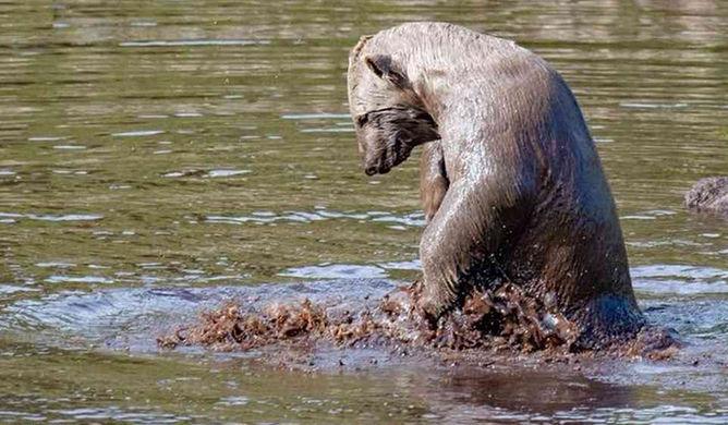 Единственный белый медвежонок Великобритании извалялся в грязи