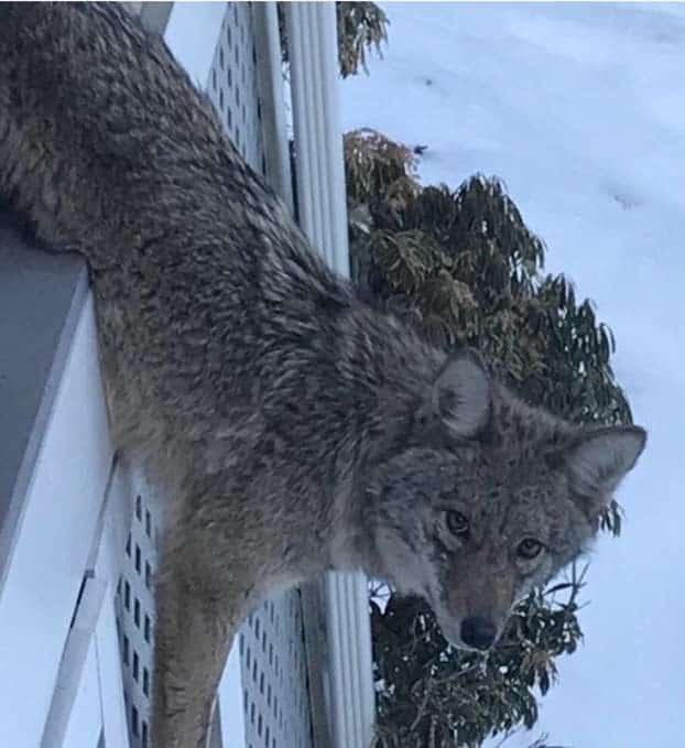 Неловко вышло: дикий зверь попал в ловушку на крыльце чужого дома