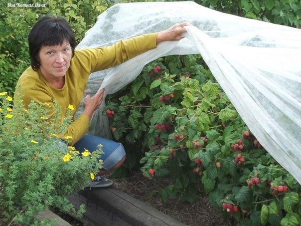 Как без ущерба для урожая омолодить свой малинник?!