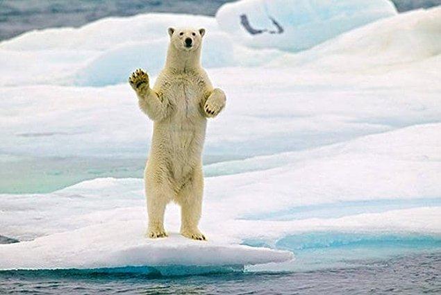 Если съесть печень белого медведя, можно отравиться