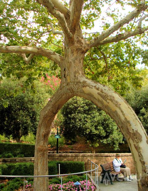 Цирк деревьев: платаны причудливых форм / Travel.ru / Чудеса света