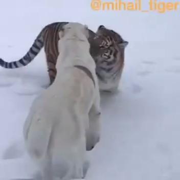 Схватка тигра и алабая