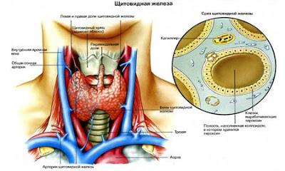 Каша для щитовидной железы