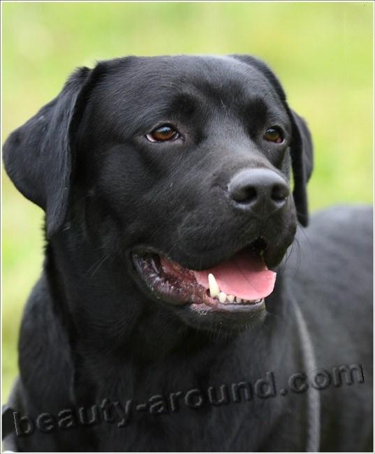 ProBalance Hypoallergenic Корм сухой для взрослых собак