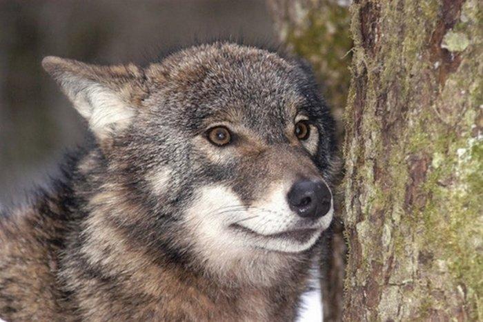 Между человеком и волком.