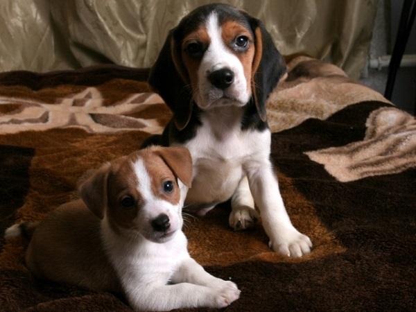 Выбор щенка охотничьей породы