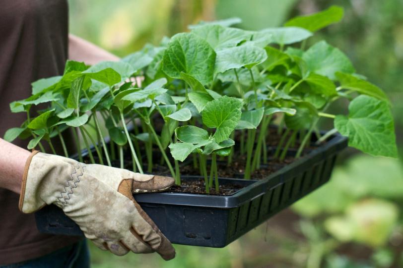 Когда сажать рассаду перца, помидоров и других овощных культур!