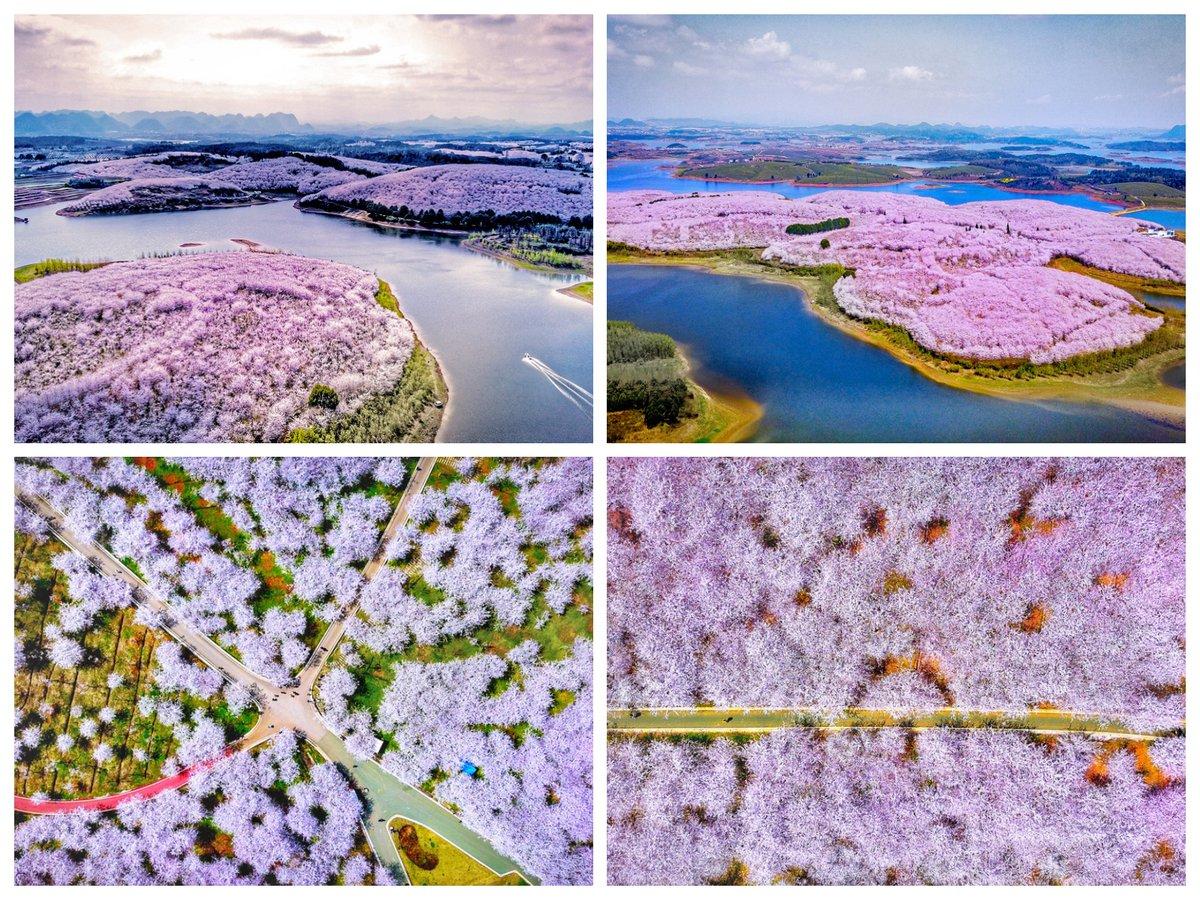Цветущие вишни Китая
