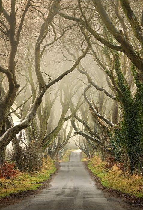 Буковая аллея в тумане. Северная Ирландия. Фото