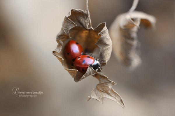 Нежность и романтика в фотографиях lieveheersbeestje