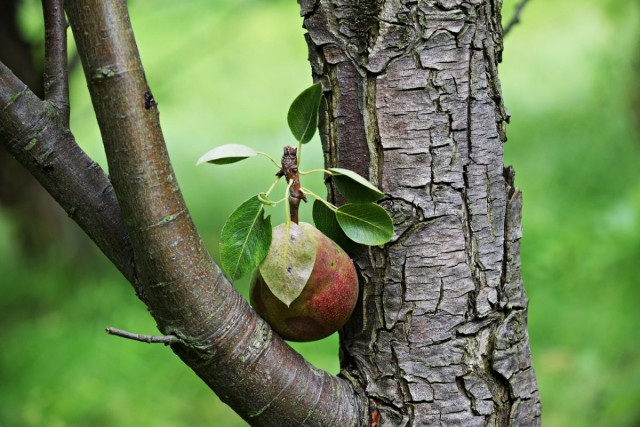 Почему не плодоносит груша?