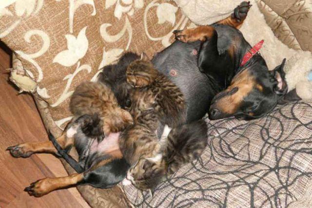 Усыновила не глядя. Такса стала мамой для осиротевших котят