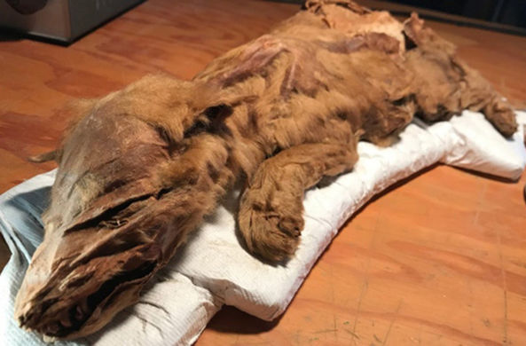 Мумия доисторического олененка поразила ученых