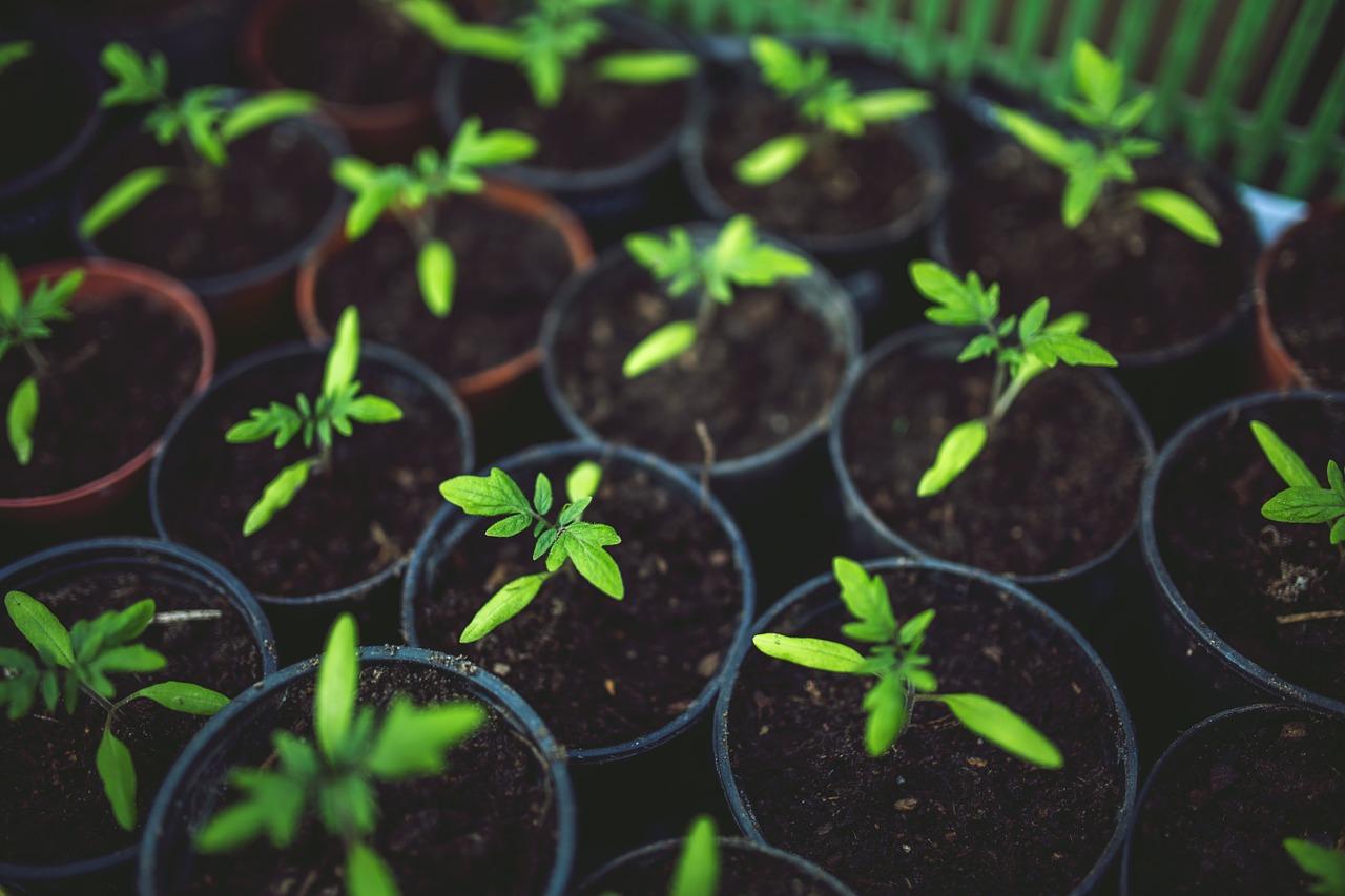 Подготовка семян томатов к посадке на рассаду - Дачные 73