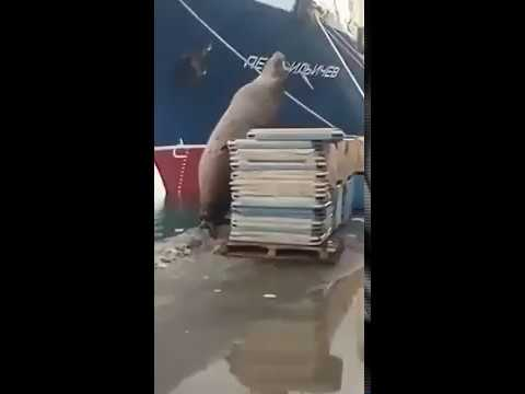 Средь бела дня: в Петропавловске-Камчатском сивуч попался на краже рыбы