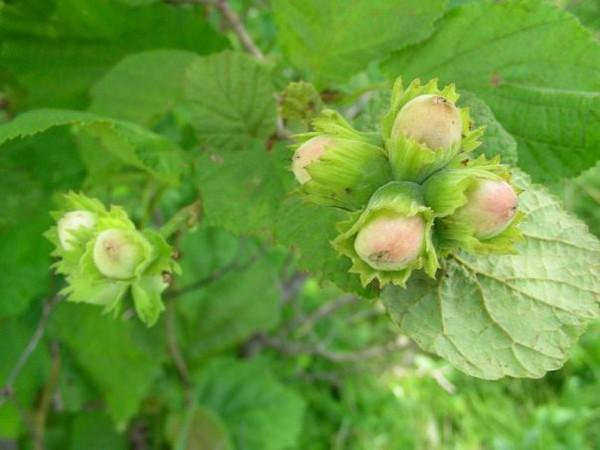 Лесные орехи полезные свойства