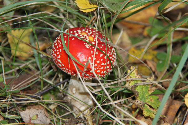 Ядовитые грибы, как определить ядовитый гриб, как отличить ядовитый гриб, отличия ядовитых и съедобных грибов, как определить съедобный гриб, ядовитые грибы в лесу, ядовитые грибы России, как отличить съедобный гриб, определитель грибов картинки, определитель грибов фото, бледная поганка фото, ложные опята фото, ложная лисичка фото, как отличить несъедобные грибы