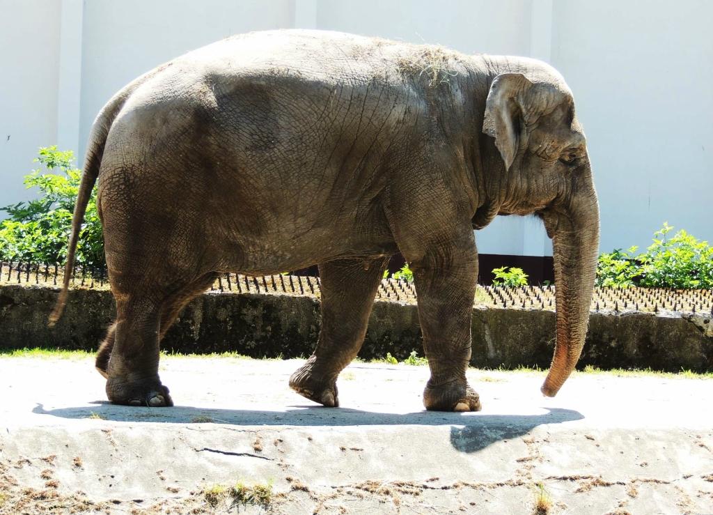 Слониха Преголя – 45-летняя коренная калининградка