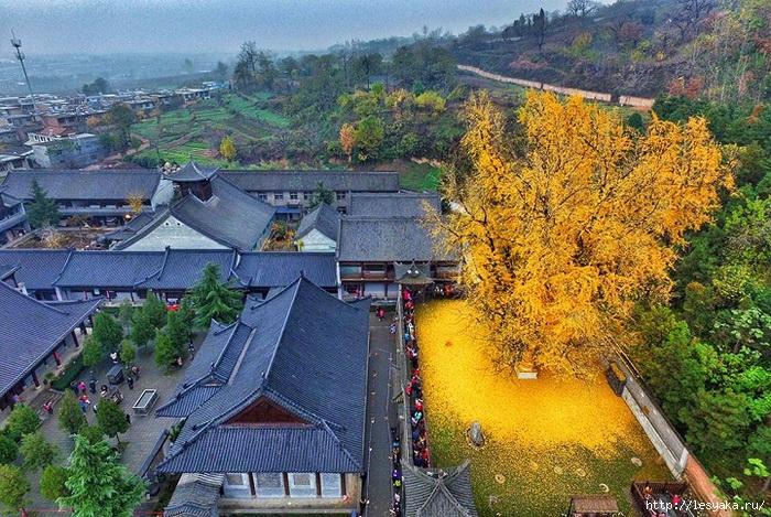 Священное дерево, с золотыми листьями!