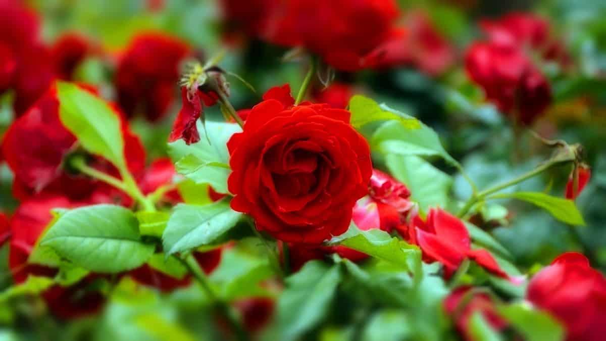 Картинки по запросу розы в саду