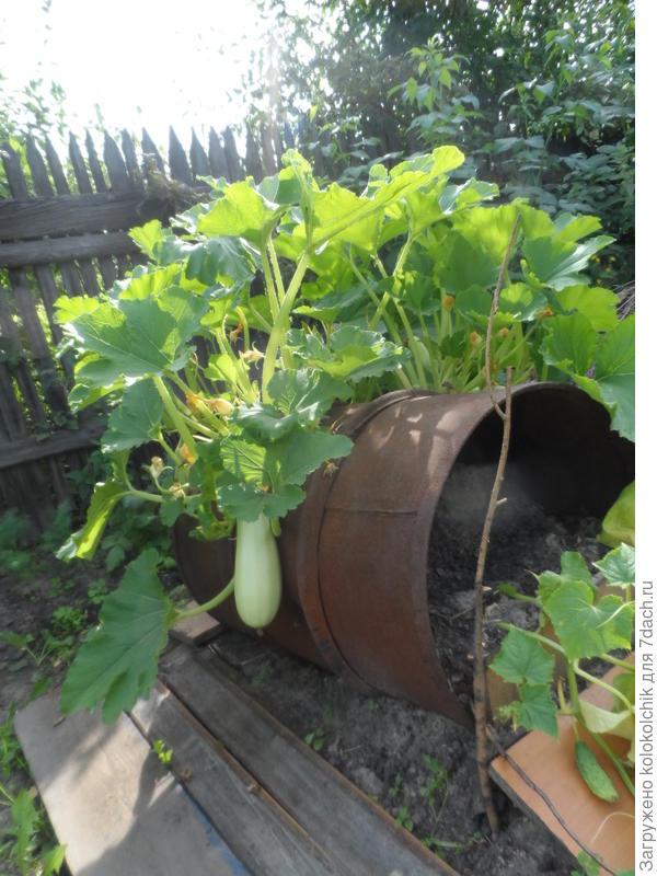 Старая дырявая бочка повышает урожай, или Бочка с серёжками.