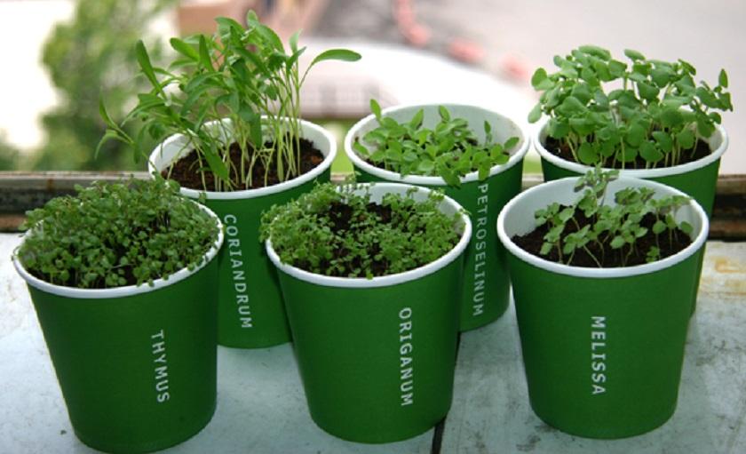 Как правильно сажать зелень - садоводка комнатные растения п.
