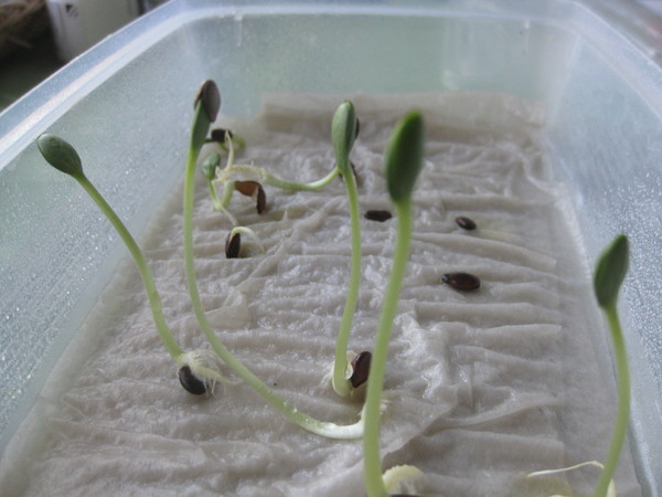 Замачиваем семена