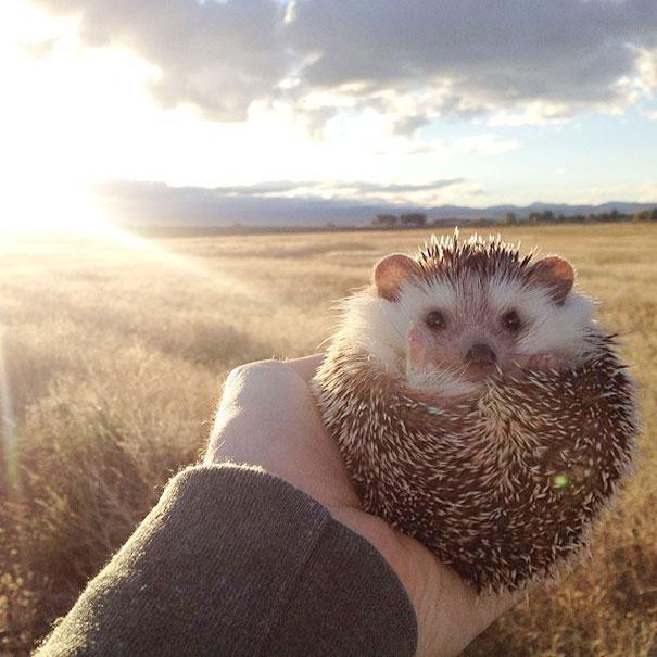 Знакомьтесь, Бидди - самый счастливый ежик-путешественник в мире