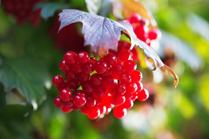 Чем полезны ягоды калины
