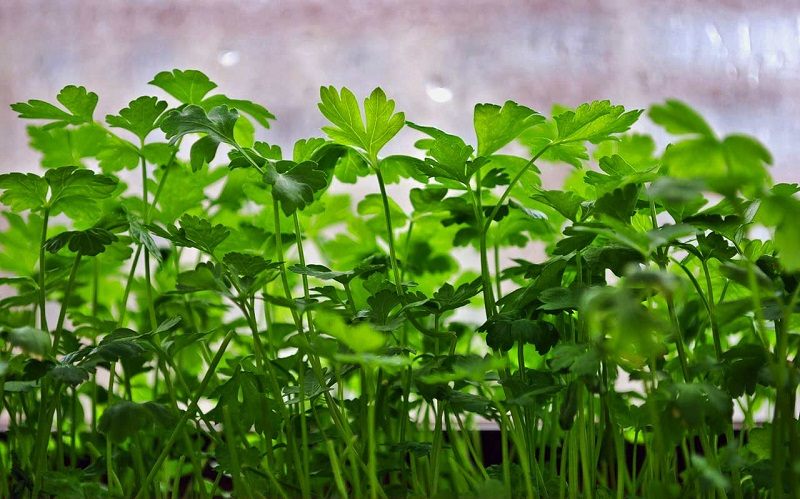 свежая зелень петрушки
