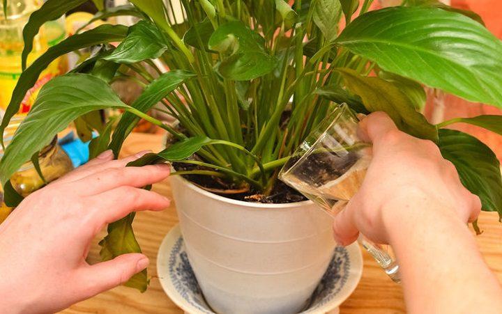 Если залить банановую кожуру водой, она способна творить чудеса с домашними цветами!