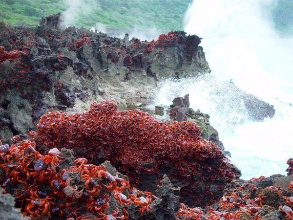 Остров Рождества каждый год захватывают крабы