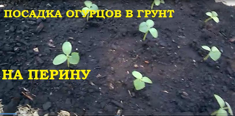 Посадка огурцов на теплую перину из травы, стружки и прочего..., а томатов в заросли