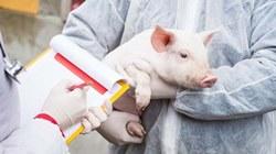 Трансплантацию свиных сердец людям начнут делать уже через 3 года