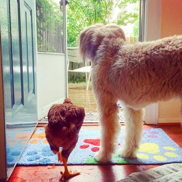 """""""В обиду не дам!"""" Маленькая индейка пряталась от фермера, чтобы не быть отправленной на мясо… А потом нашла защиту у огромного пса"""